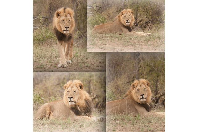 Male lion in Balule Game Reserve