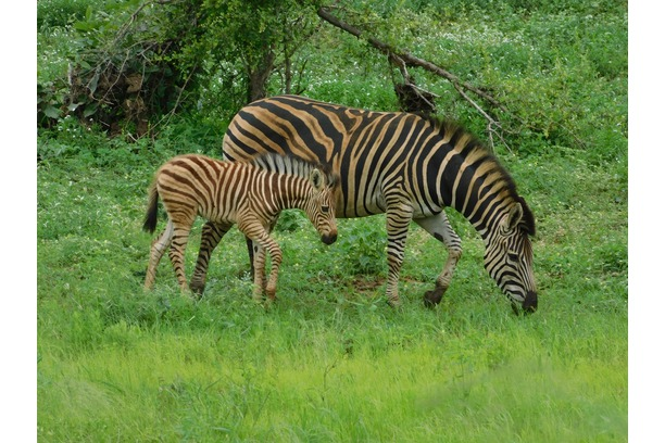 Zebra foal - summer in Greater Kruger Park