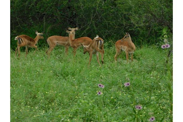 Impalas & fawn babies - Transfrontier Africa.