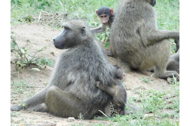 Baboon troops with babies in Balule Nature Reserve