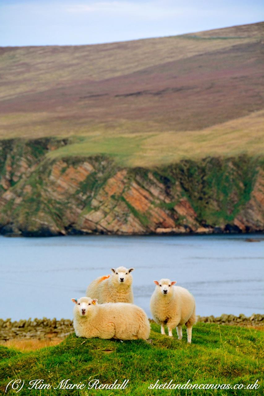 Shetland Ewes at Burrafirth, Unst