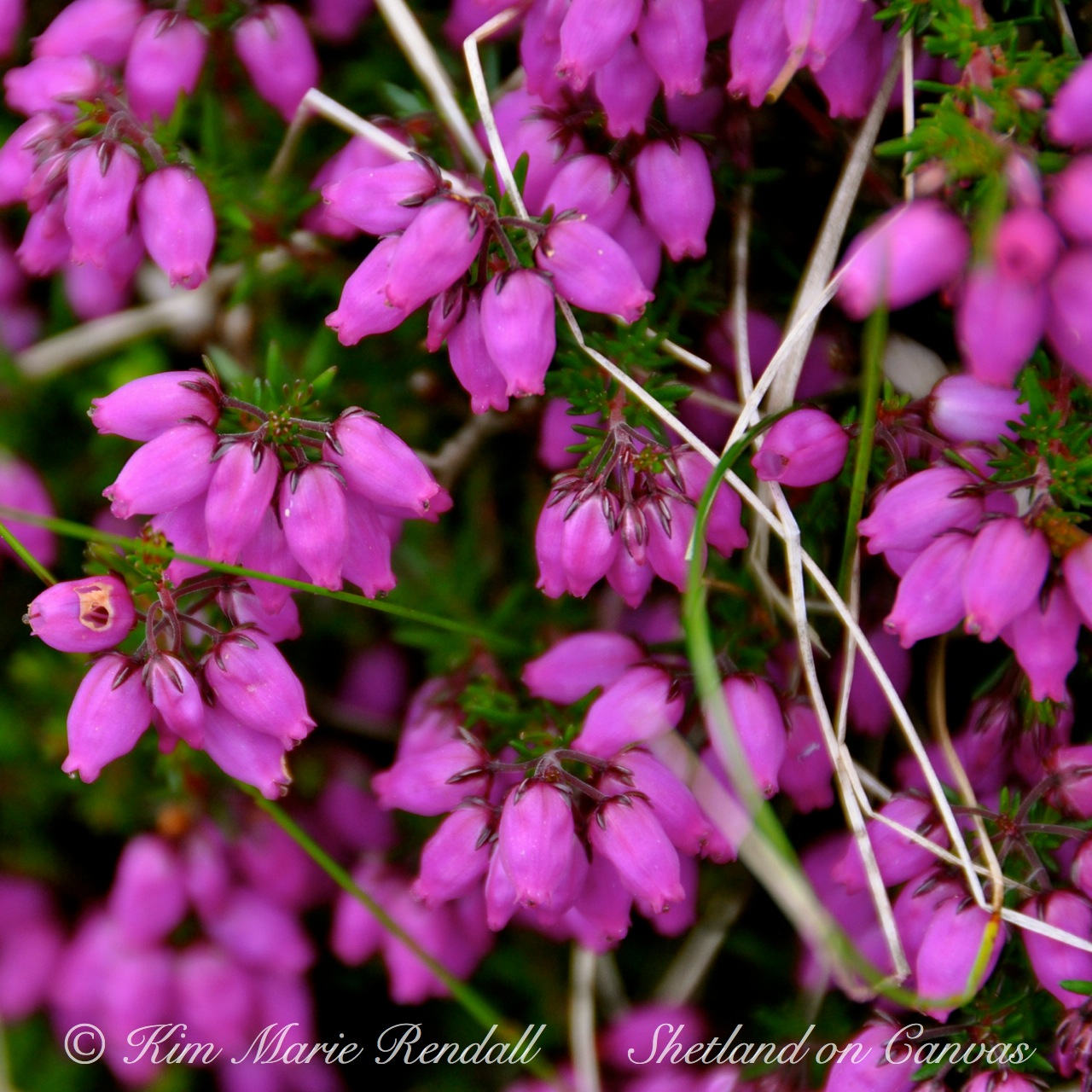 Bell Heather at Brae