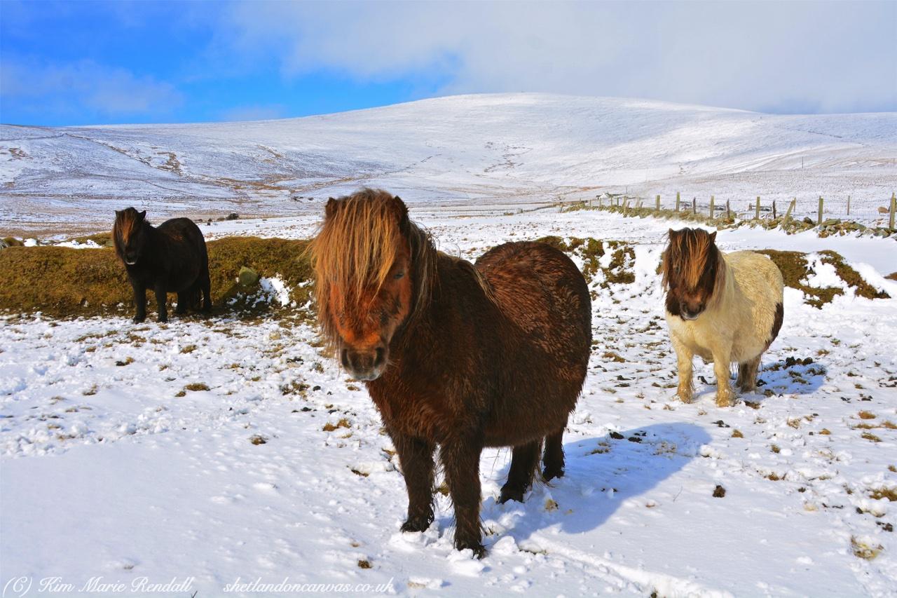 Shetland Ponies in the Snow at Haroldswick, Unst