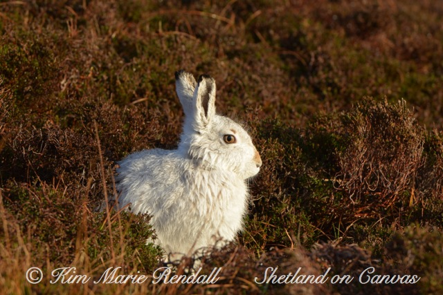 Mountain Hare, North Nesting