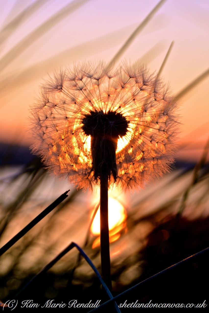 Dandelion Clock at Sunset, West Voe