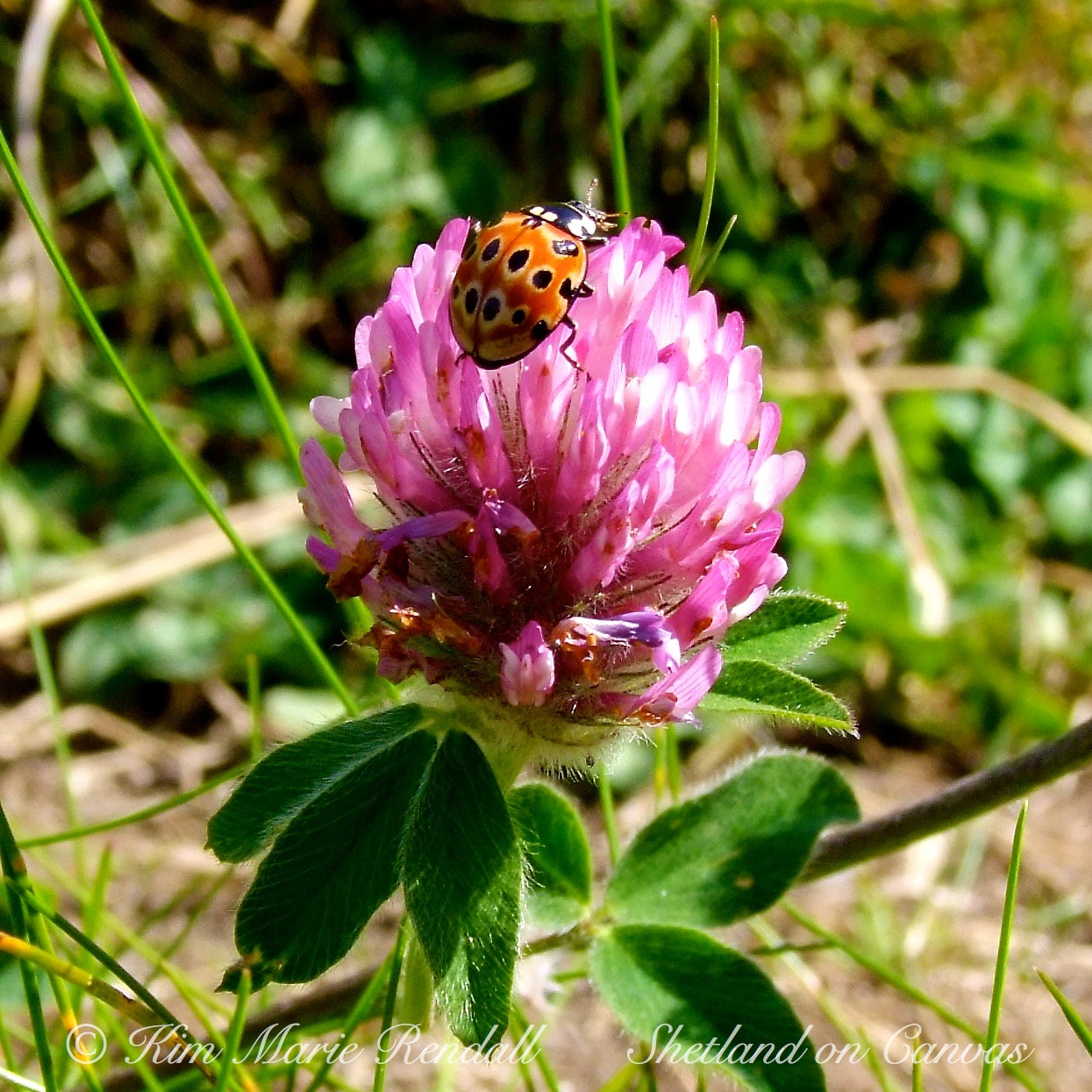 Eyed Ladybird on Red Clover