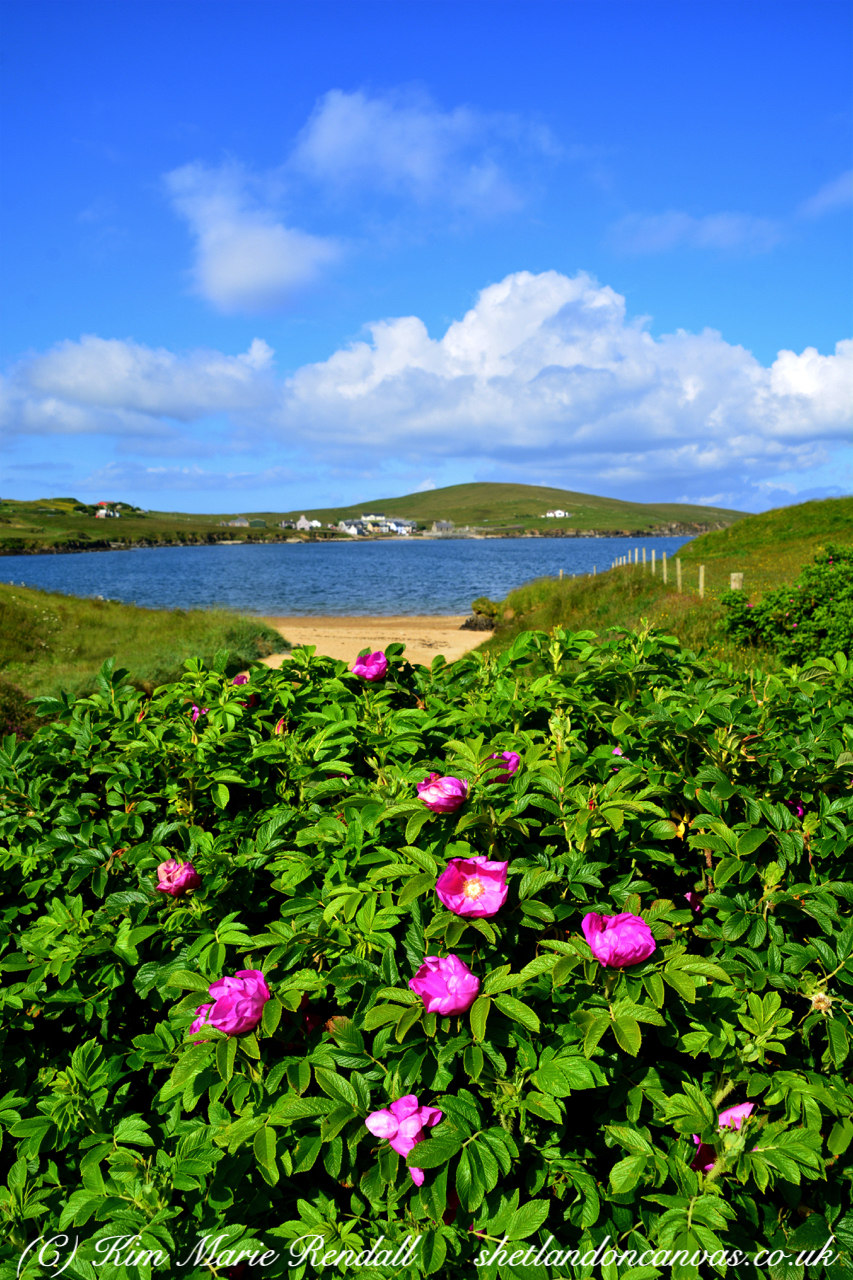 Shetland Rose at Eastwick, Ollaberry