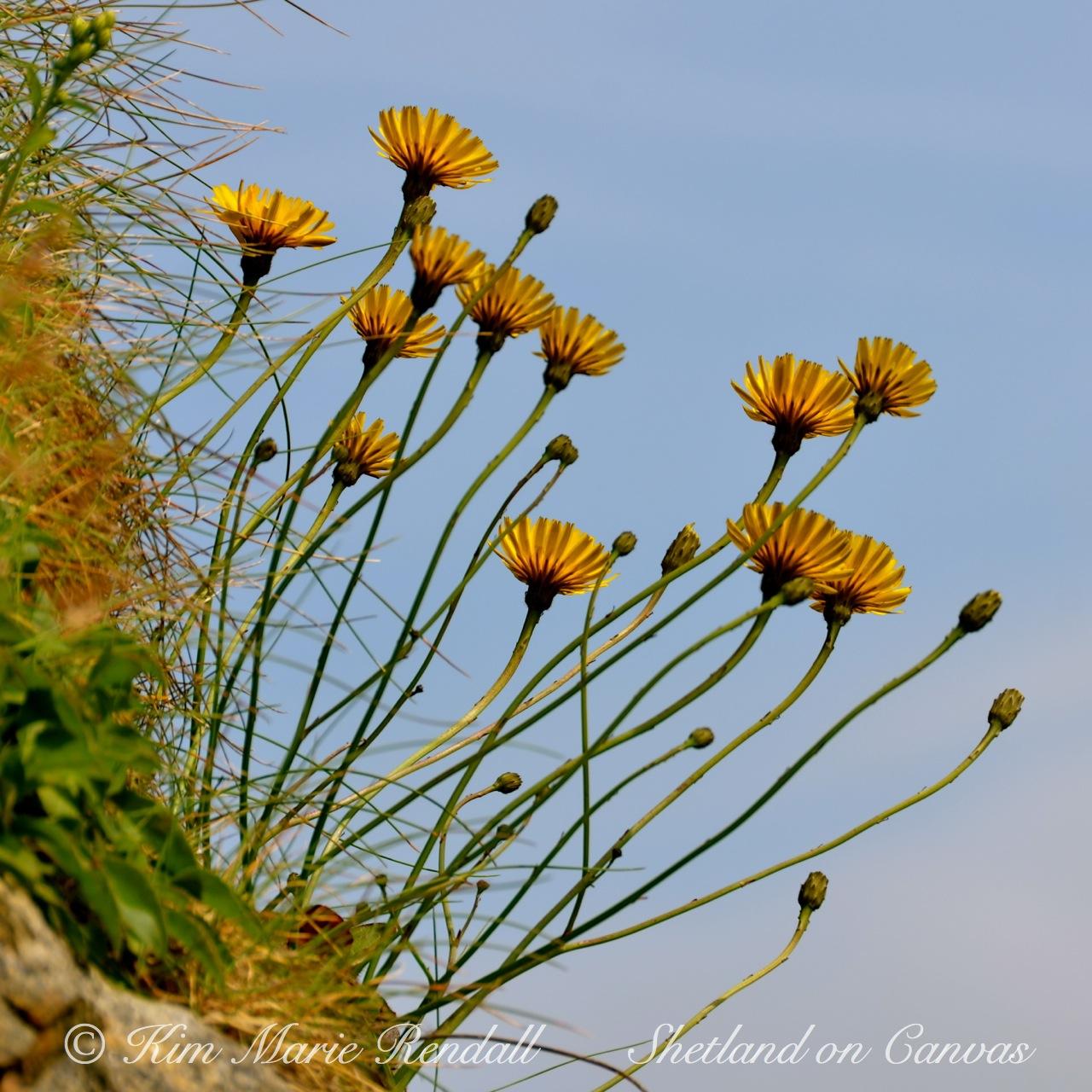 Cliff-side Dandelions, Unst