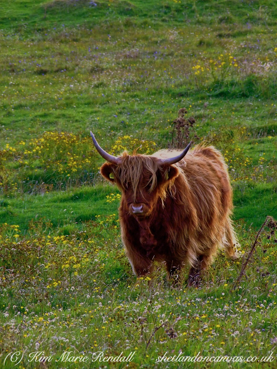 Highland Cow in Wild Flowers, Garth, South Nesting