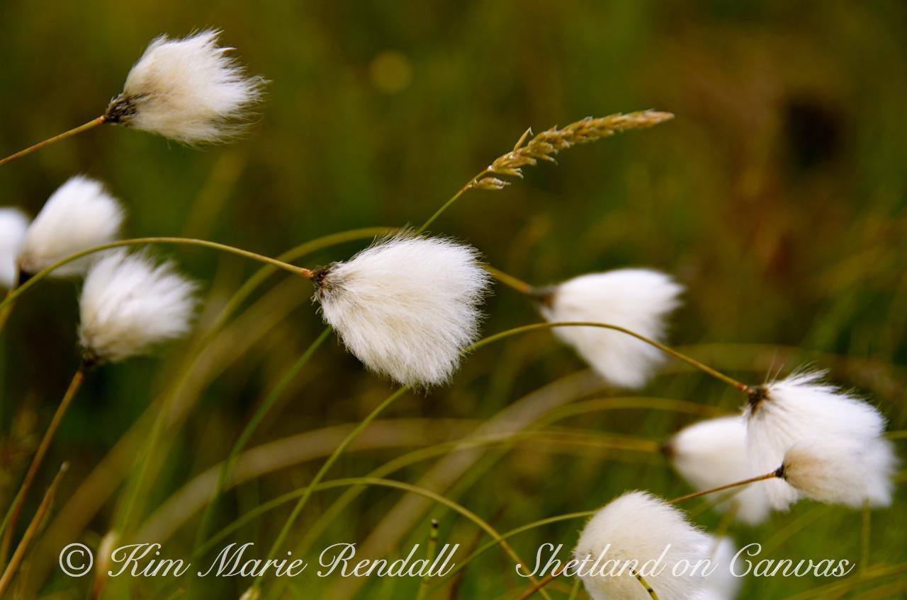 Wild Cotton in the Wind