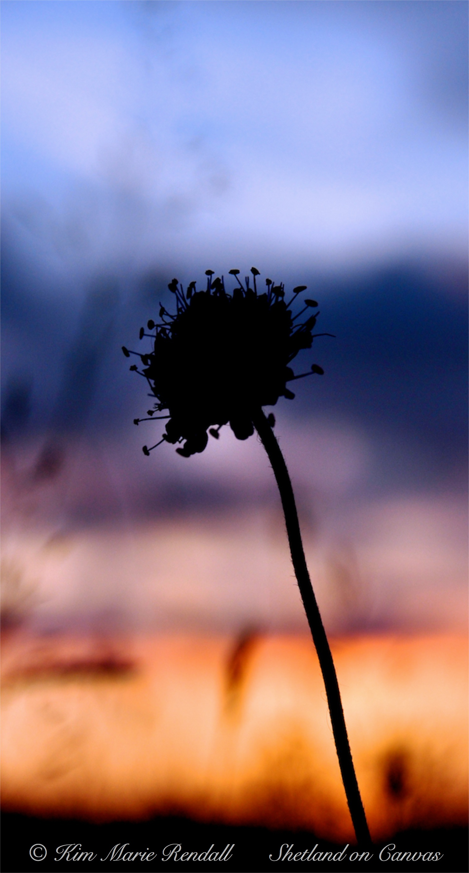 Wildflower Silhouette at Sunset, North Nesting (2)
