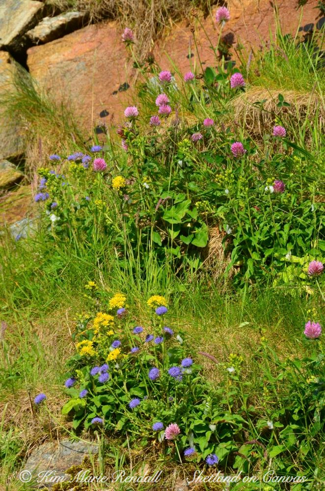 Wildflowers on Cliffs at Burrafirth, Unst