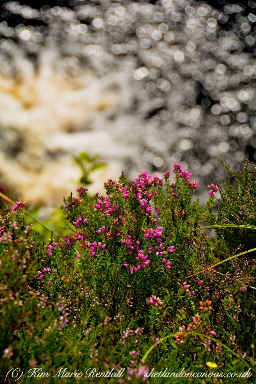 Bell Heather at Burn of Lunklet