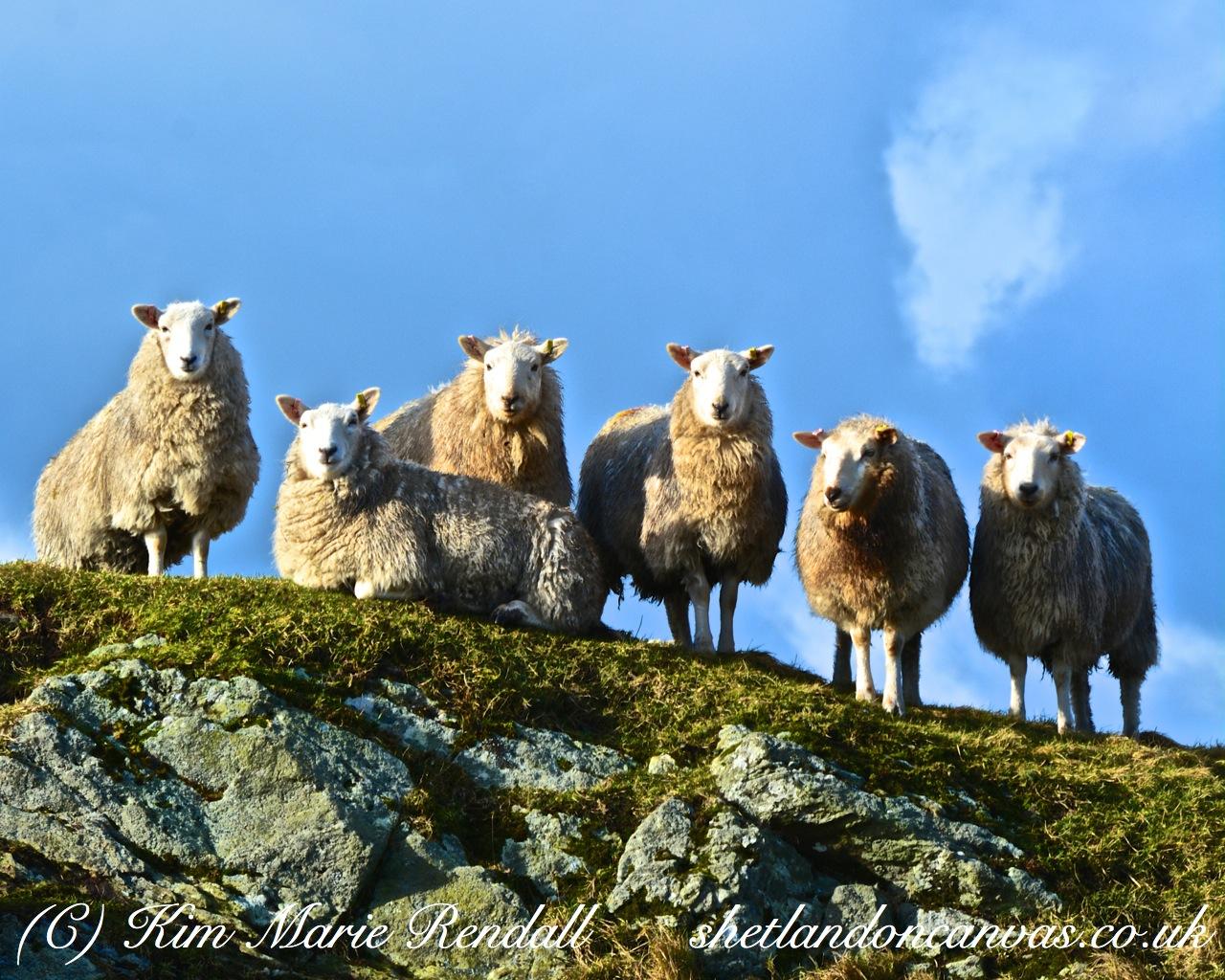 Curious Sheep at Gletness