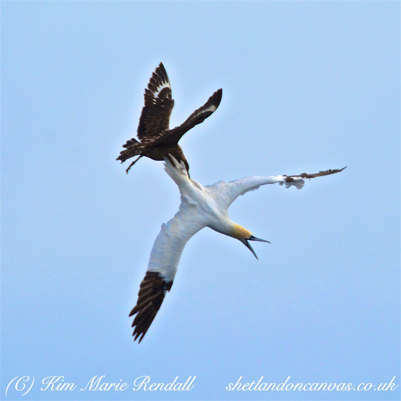 Great Skua & Gannet Battle