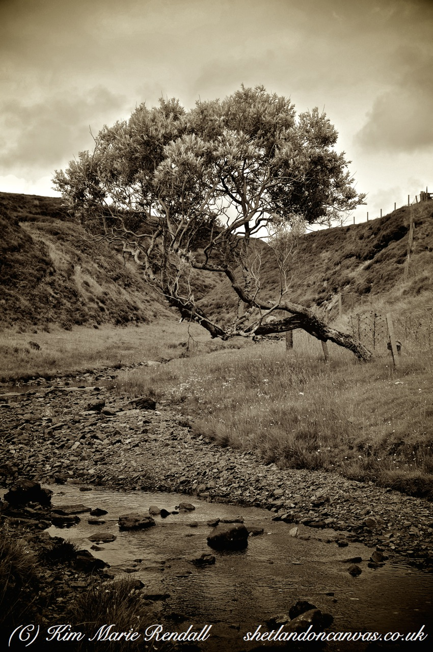 Tree at Quoys Burn, South Nesting (B&W)