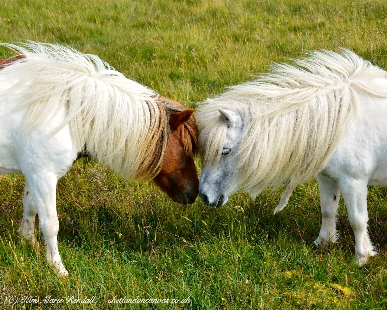 Shetland Ponies at Baliasta, Unst