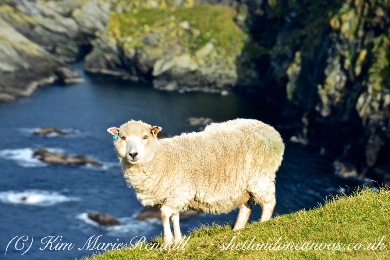 Cliffside Sheep, Hermaness, Unst