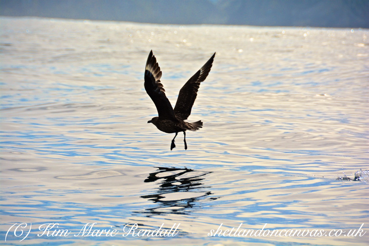Great Skua, Unst