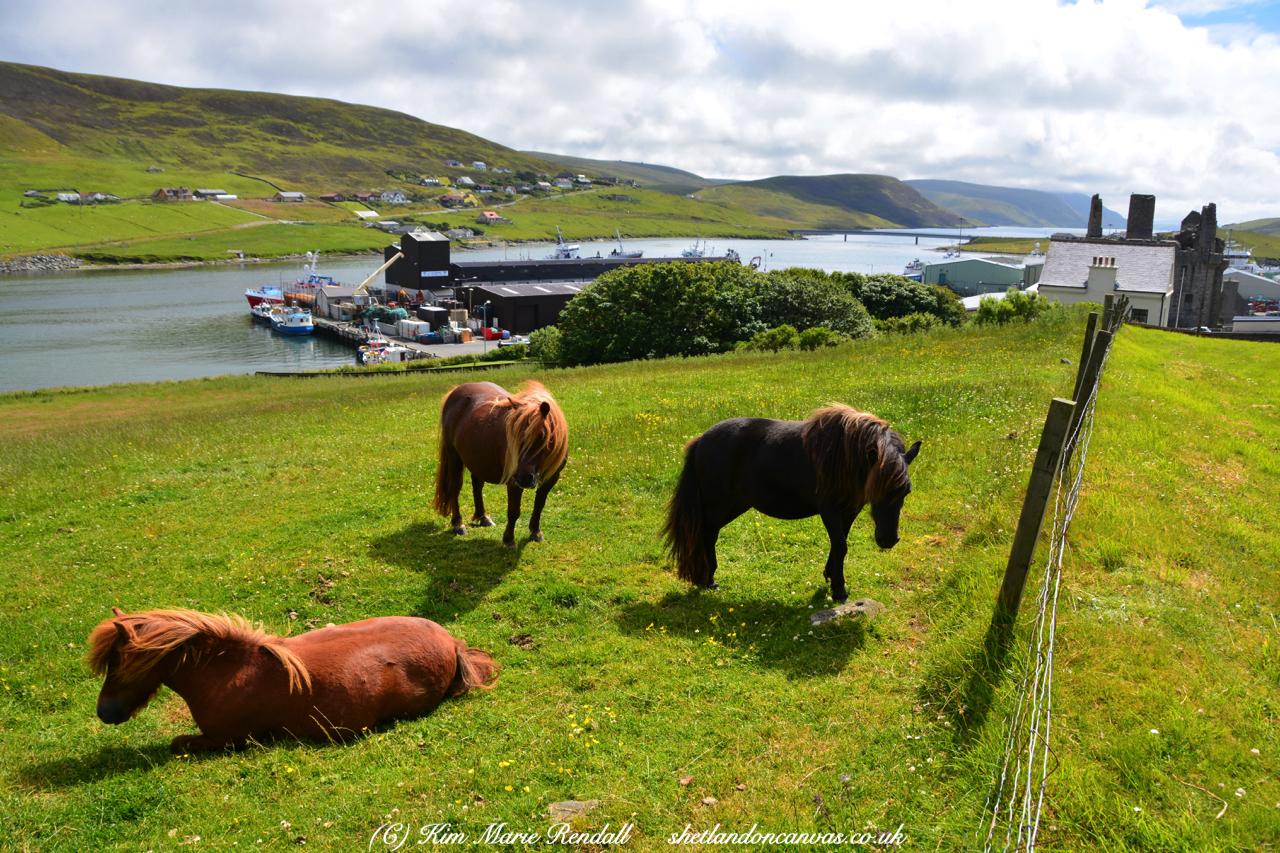 Shetland Ponies at Scalloway