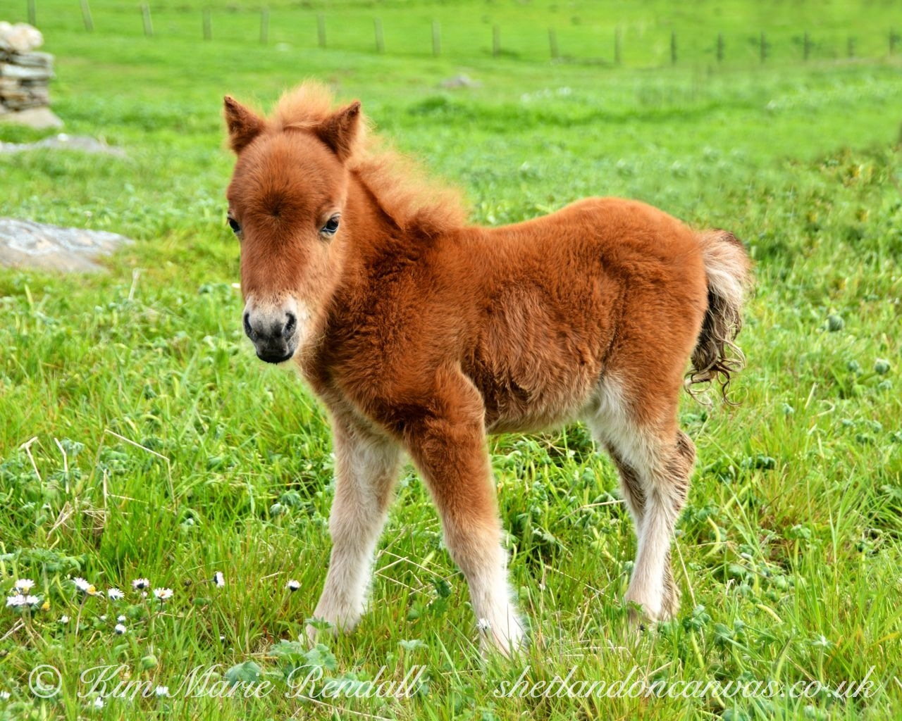 Shetland Pony Foal at Boddam