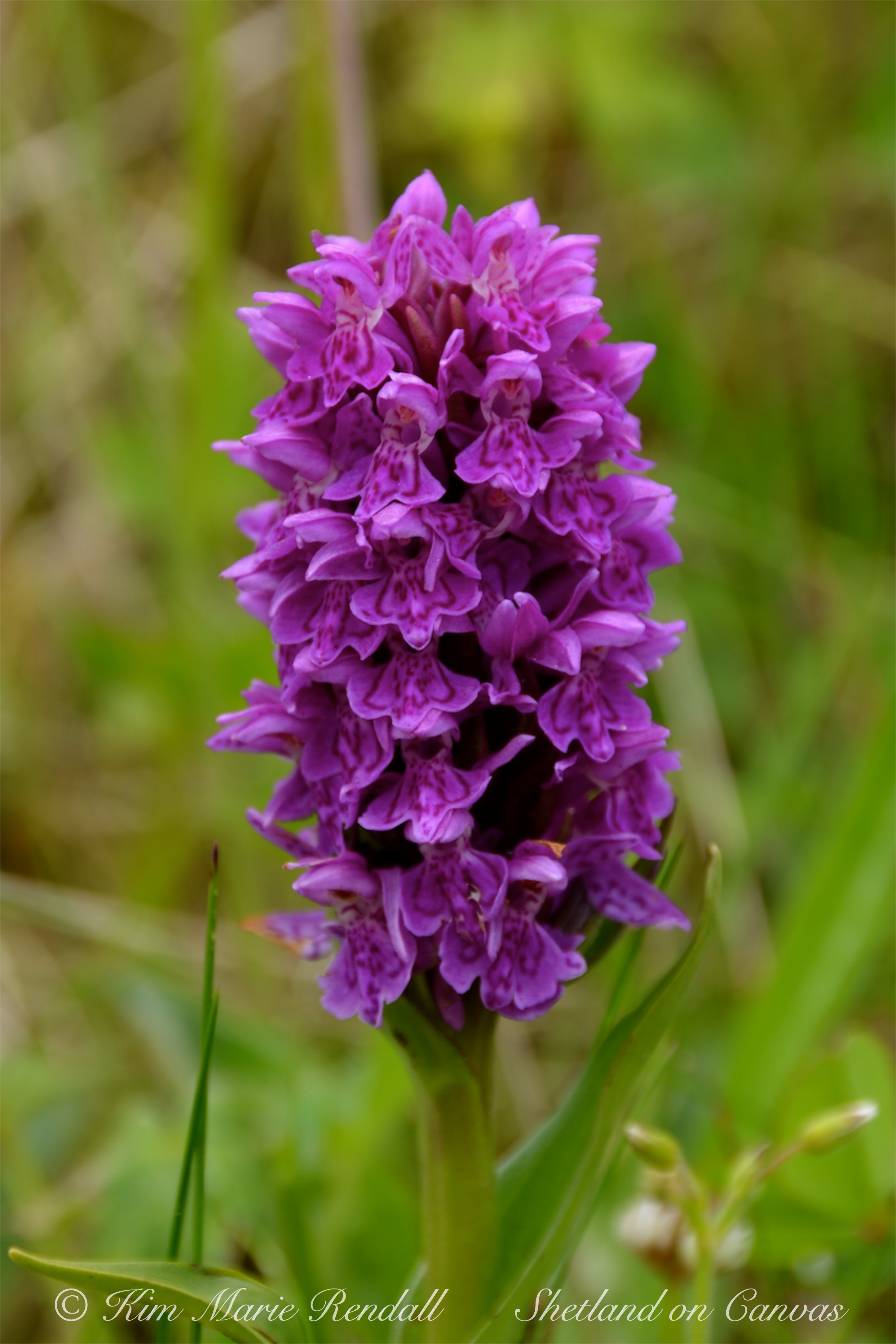 Hebridean spotted orchid, South Nesting