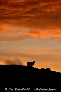 Ewe Silhouette at Laxfirth, North Nesting