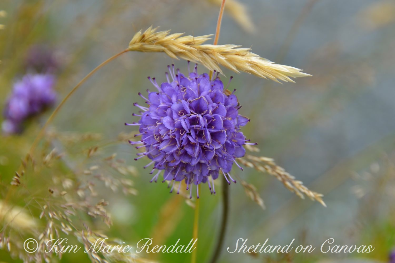 Devil's Bit Scabious at Sandness