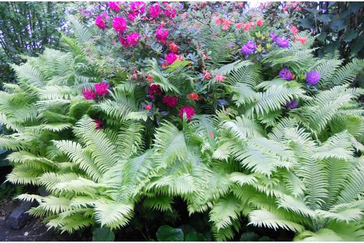 Farn und Rhododendron