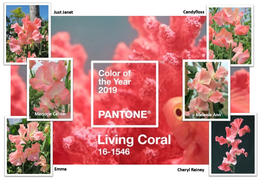 Living Coral picture