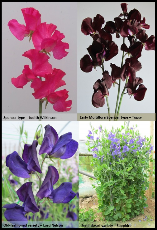 Different Sweet Pea types