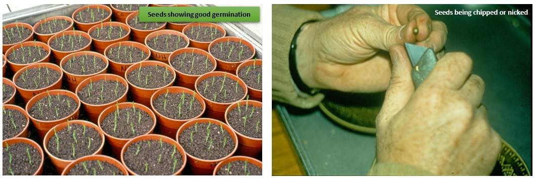 Excellemnt germination and nicking of seeds