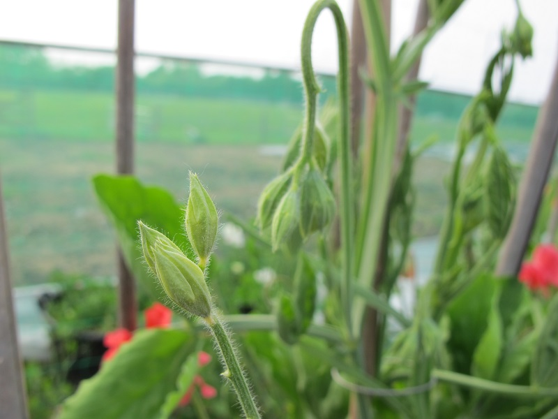 Peas showing bud-drop