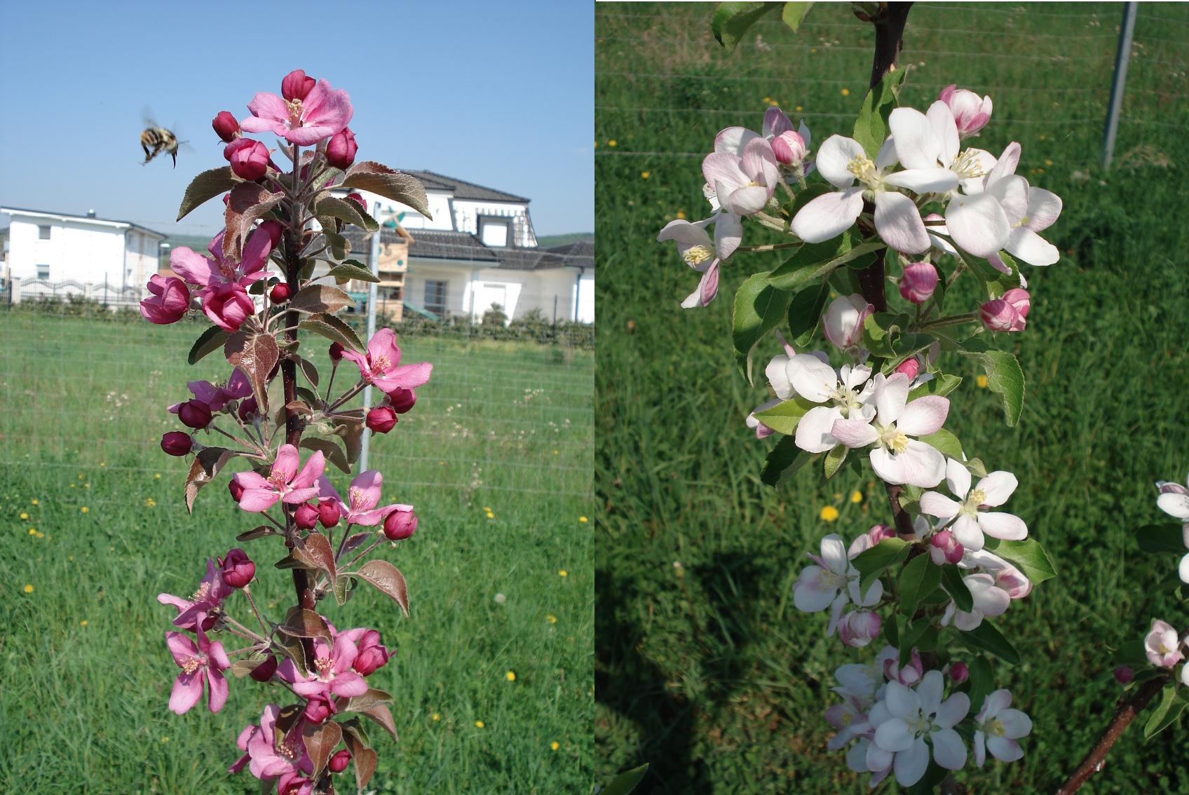 Apfelblüte rot und weiß