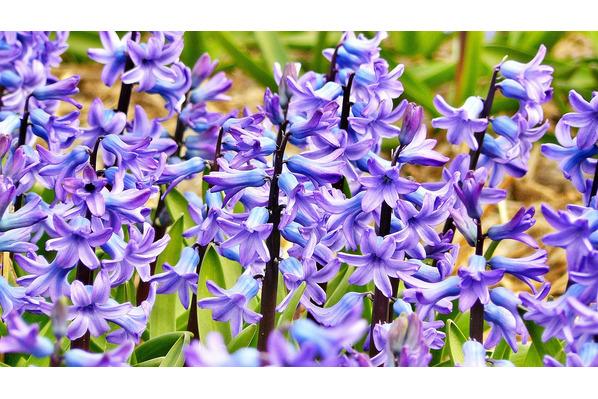 hyazinthe hyacinthus