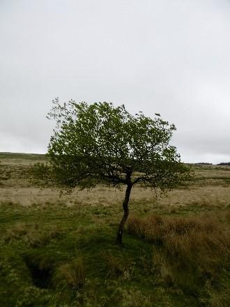 Tree on Bodmin Moor