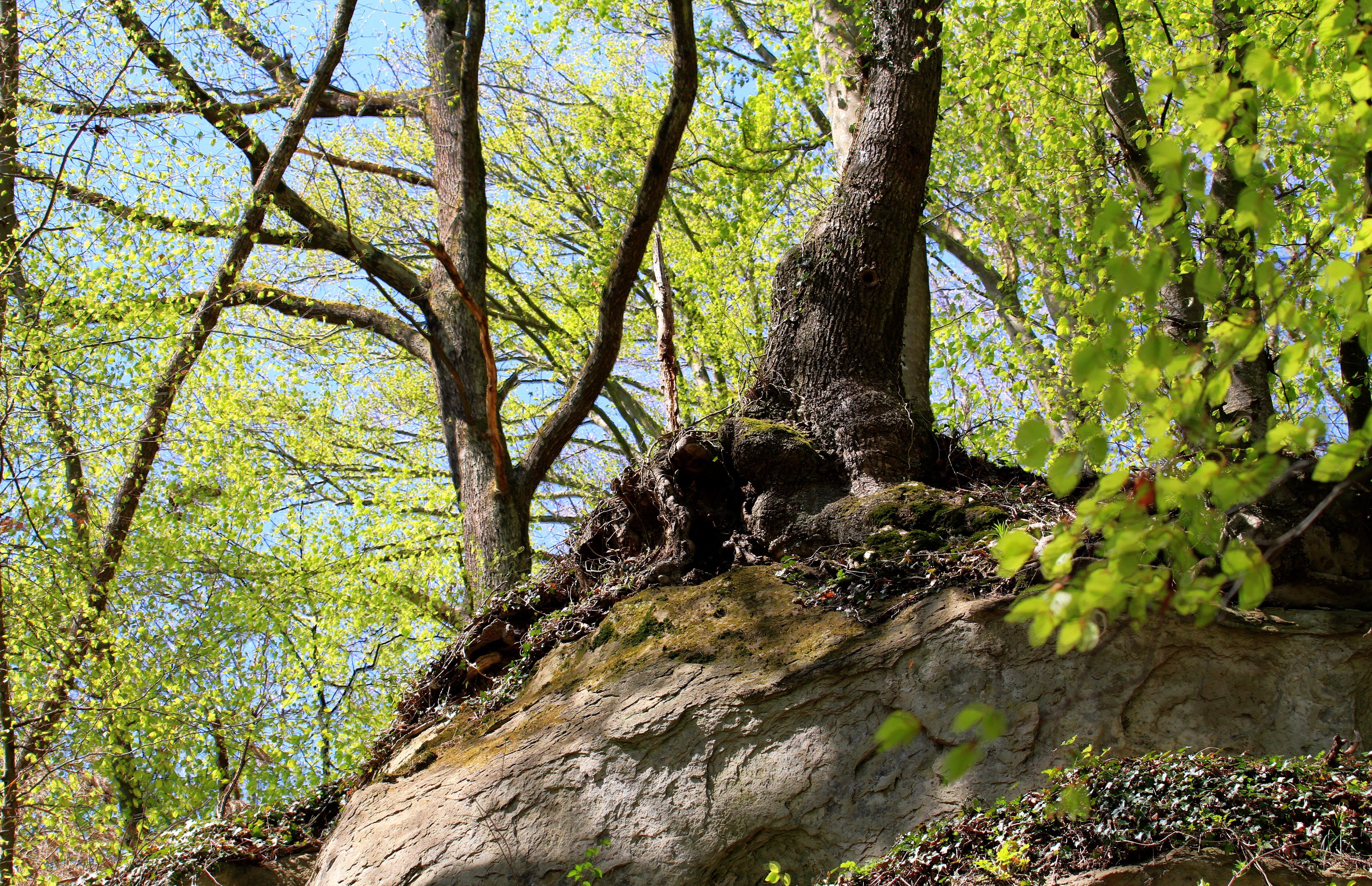Baum bei Sipplingen