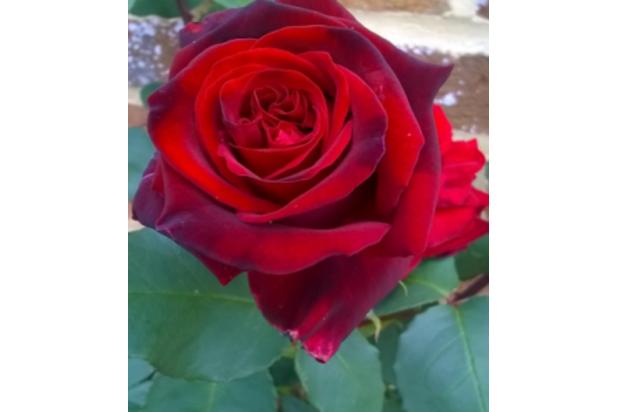 Wisdom House Rose