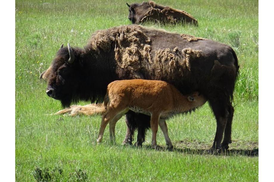 Bison à Yellowstone