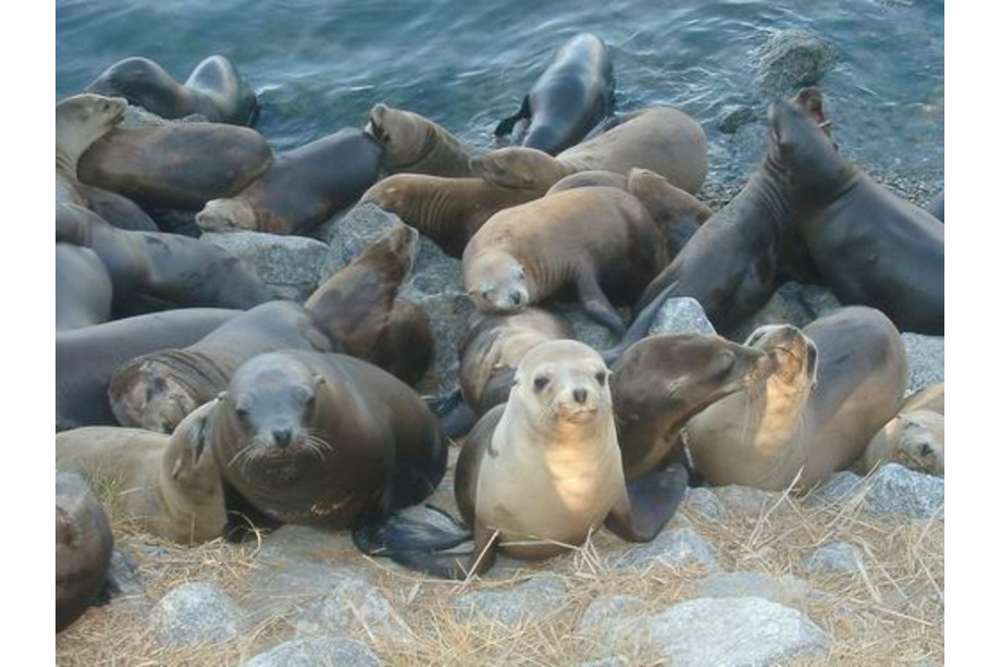 Lions de mer à Monterey
