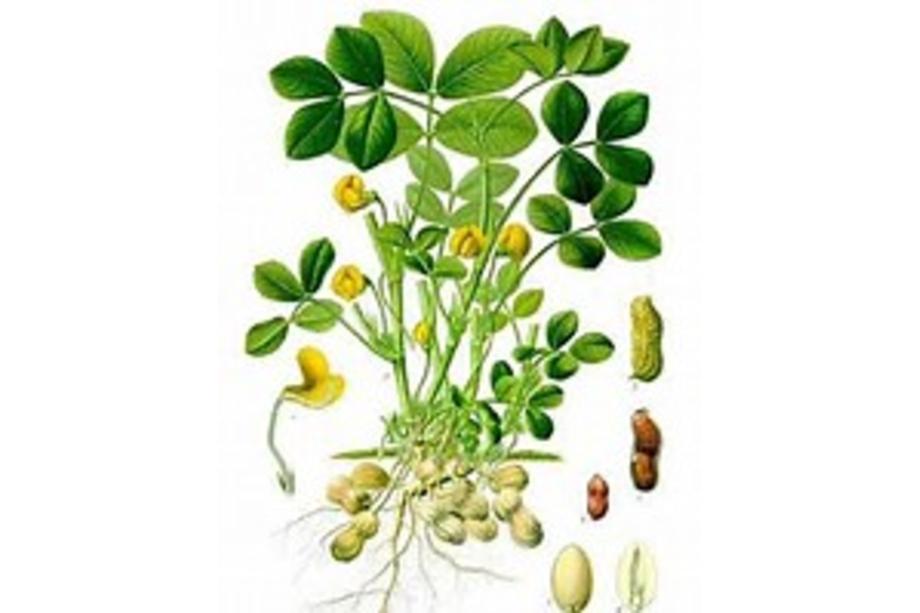 cacahouète botanique