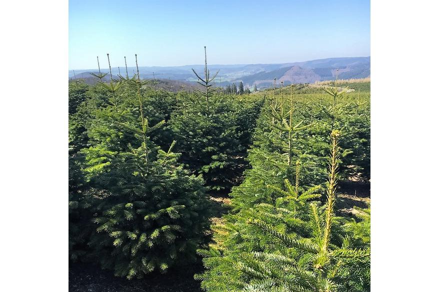 Weihnachtsbäume für den Blumenfachhandel