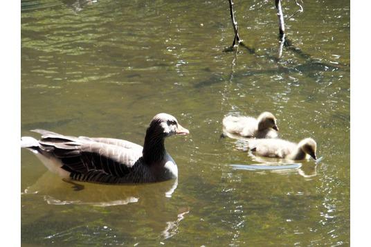 Smeaton Lake geese