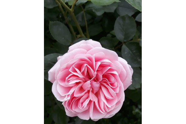 malvorlagen rosen ig