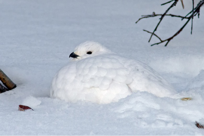 Photo_of_a_ptarmigan