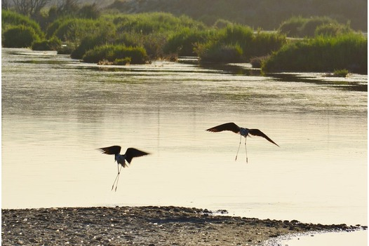 two_wading_birds_hovering_over_the_salinas