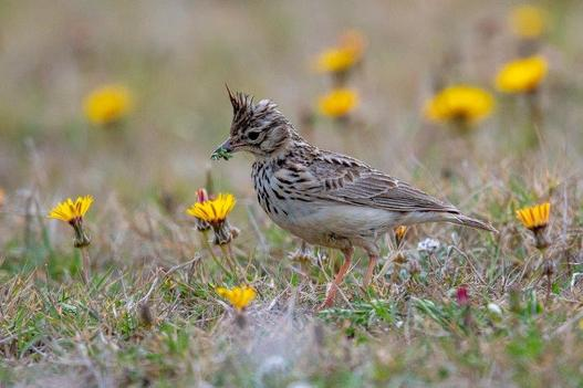 crested_lark_among_the_reeds