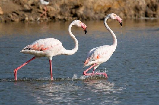 two_pink_flamingos_in_the_salt_marsh