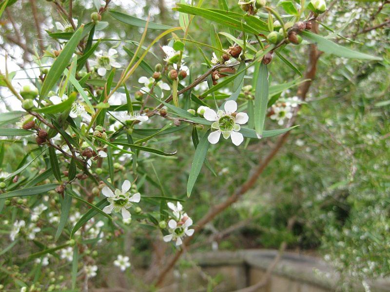 Lemon Tea Tree Essential Oil 10ml