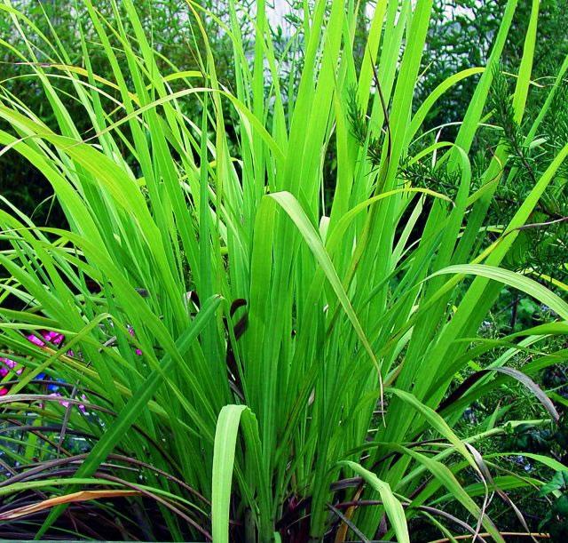 Palmrosa Essential Oil 10ml